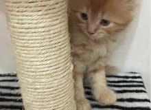 قطط كيتن شيرازيه