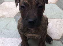 كلب بيتبول للبيع
