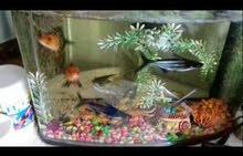 حوض سمك متوسط الحجم مع هدايا