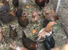 دجاج وديكه محليه