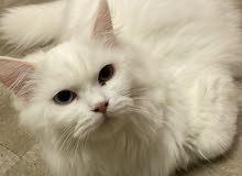 قط شيرازي جميل يحب اللعب
