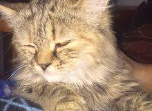 قطة شنشيلا للبيع