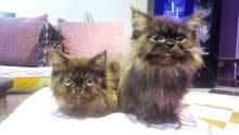 2 قطة هيمالاى على شيرازى فرنساااوى اوريجينتال