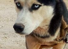 كلب هاسكي اللبيع وبدل علا حمام وعصفير