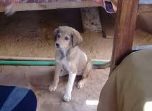 كلبة بوليسية جيدة الحراسة