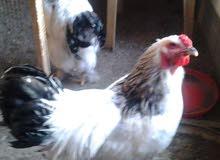 دجاج براهما لايت دكتورا خط اول