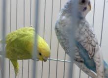 جوز طيور الحب البادجى منتج للبيع
