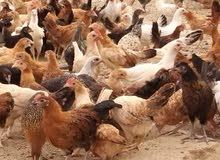 دجاج بلدي وفيومي للبيع