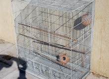Birds jumped in good condition price 175 AED