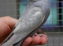 طيور البدجي