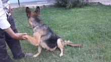 كلبه جميله جدا بلجيكي وبسعر مهول وكمان في نقاش