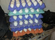 بيض فيومي مخصب للتفقيس والاكل