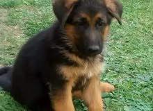 يوجد ادي جميع أنواع اكلب الورده من كرانيا