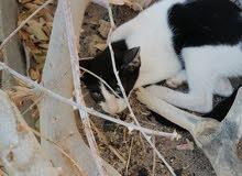 قطط للبيع مع أرنب هديا