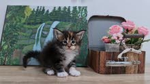 10000dhs fixed pure maine coon with pedigree