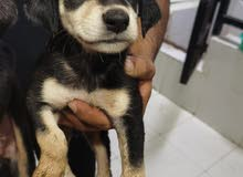Dogs for sale Age between 30 to 35 days Required pill 800 Ajman place To contact