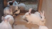 ارانب أبيض نيوزلندي