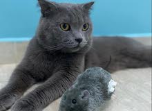 قط برتش ذكر للبيع  Cat British male for sale