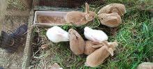 ارانب بلجيكي بني عدد. 5 ونيوزلندي ابيص 2