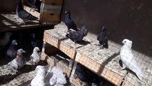 طيور لوات للبيع زواجل