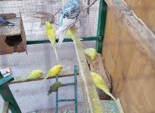 طيور الحب سعر زوج 13 الف مكاني منطقه صليخ  هذا رقمي