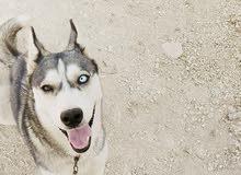 كلبه هاسكي للبيع العمر سنه وشهرين