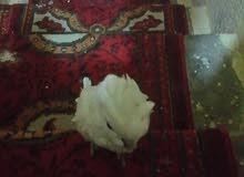 السلام وعليكم شباب للبيع ببغاء كوكاتو اليف فوول السعر 450 والشراي يجي خاص ويدلل
