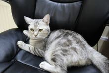 Scottish male cat for sale