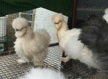 دجاج امايات عمر 8 شهر الكل بياضات