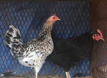 دجاج عربي زهري غليض