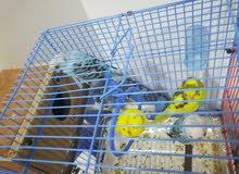 طيور البادجي(الحب) هولندية منتجة للبيع