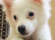 كلب جريفون أبيض للبيع
