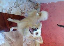 انثي كلب لولو فرنسي