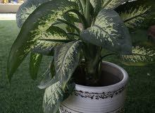 نبات الظل هولندي للبيع