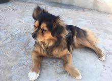 كلب فرنسي شيواواه للبيع