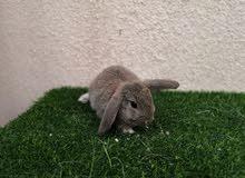ارانب لوب