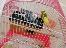 طيور الحب (. الباجي)