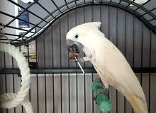 كوكاتو امبريلا اليف white cockatoo umbrella
