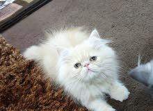 قطة بيكي فيس ب700 ريال