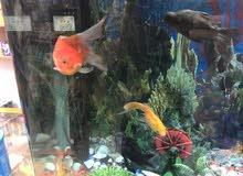حوض سمك 12 سمكة للبيع 100
