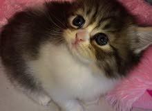 قطة شيرازي بيور  انثى قابل للتفاوض