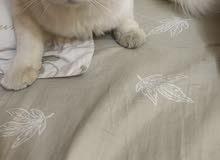 قط ابيض بعيون زرقه جميله لتزاوج فالبريمي فقط اريد قطه شعرانيه