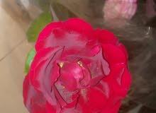 توصيل شتلات الورد السلطاني والمحمدي الي صحار َولوي