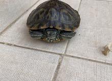sweet friendly turtle