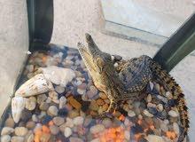تمساح  النوع الي يوصل 6متر و السعر مايتخالفوش عليه اثنين