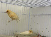 عصافير كناري