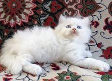 قطط شيرازية مستوى راقي