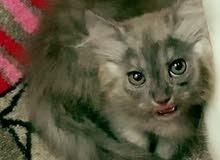 (√¶¶) فرررصة√ (مميزة) ملفة للانظااار)Cats√Moon√Herveys√British√Franco√