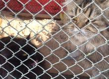 قطط ذكر وانثى للبيع