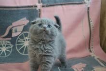 Scottish fold male , by german breeder in dubai